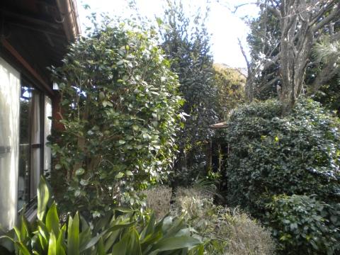 少し見にくいですが、座敷直前のツバキが繁茂して後ろが見えにくい状態