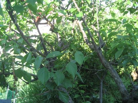 屋根の上のウメの枝 強剪定前