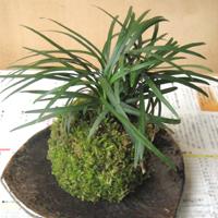 製作する苔玉のイメージ